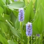 Pontaderia Lanceolata-2