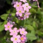 Myosotis Palustris Pinkie2