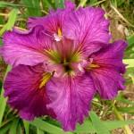Iris Louisiana Cyclamint