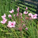 Butomus rosenrot