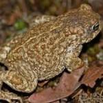 Naterjack toads jpeg