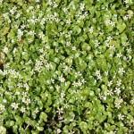 Ranunculus Hederaceous