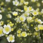 Ranunculus Acris 'Citrinus'