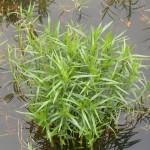 Dulichium Arundinaceum 17