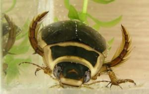 great diving beetles