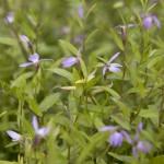 Lobelia chinensis