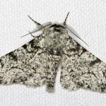 Chinese Mark Moth