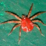 Red_Spider_Mite[1]