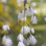 Eriophorum latifolium, Broadleaved Cotton Grass