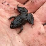 Baby Marsh Frog