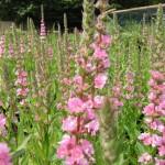 lythrum salicara blush