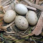 Moorhen eggs