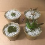 Growing Pond Plants in  Biodegradable Pots