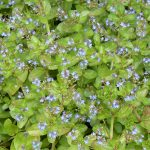 Pond Plants with attractive bright green foliage