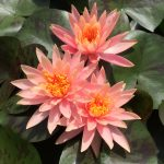 How to grow Water Lilies for Maximum Blooms
