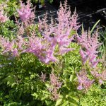 Astilbe for Pond Surroundings