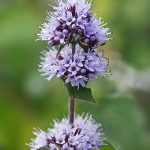 Scented Mentha for Ponds and Water Gardens